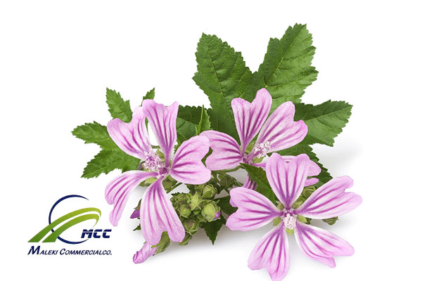 Bronchitis diseases treat with common mallow, maleki commercial co