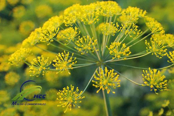 الخصائص النباتية للقنة, maleki commercial co