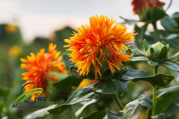 Safflower plant, maleki commercial co