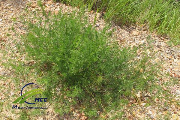 Information about Prangos Ferulacea (Opoponax Gum), maleki commercial co