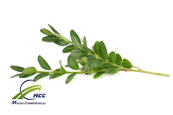 All information about common myrtle, maleki commercial co