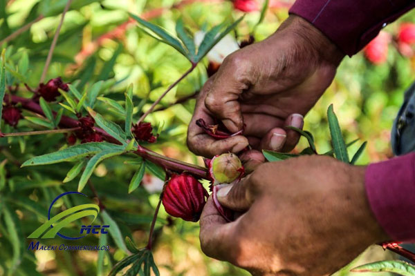 about Hibiscus (Mecca) Tea, maleki commercial co
